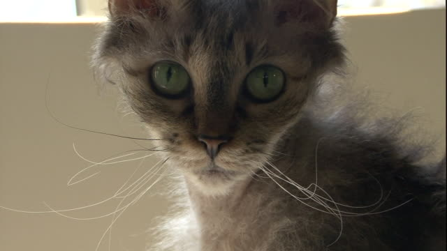 a la perm cat stares into the camera. - staring stock videos & royalty-free footage