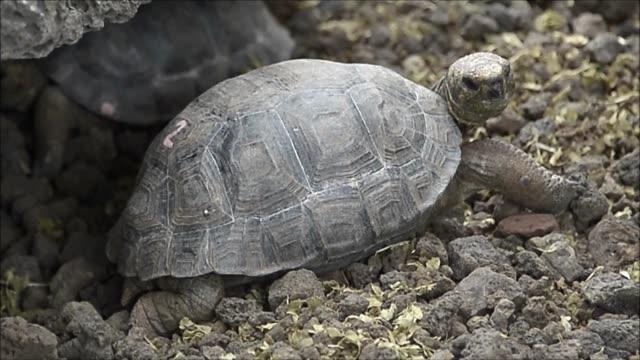 La poblacion de tortugas gigantes de la isla Espanola en el archipielago ecuatoriano de las Galapagos tiene mucho que agradecer a Diego el super...