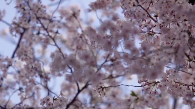 La primavera se acerca y una pregunta martiriza a japoneses y turistas ¿cuando se pondran en flor los cerezos Destacados meteorologos se pronuncian...