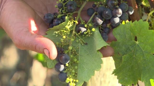 vídeos de stock, filmes e b-roll de la produccion mundial de vino cayo un 82% en 2017 hasta los 2467 millones de hectolitros su peor nivel en mas de 50 anos debido a condiciones... - vino
