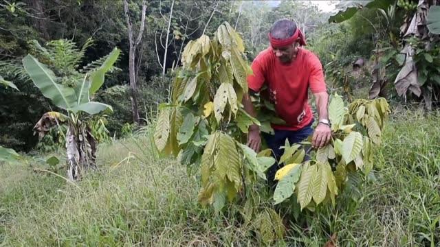 stockvideo's en b-roll-footage met la siembra prohibida se habia disparado y la region colombiana de catatumbo era un mar verde de cultivos de coca - agricultura
