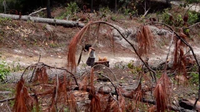 la tala masiva de pinos en una reserva natural de honduras para exterminar una plaga de gorgojo conmociona al pais - reserva natural stock videos and b-roll footage