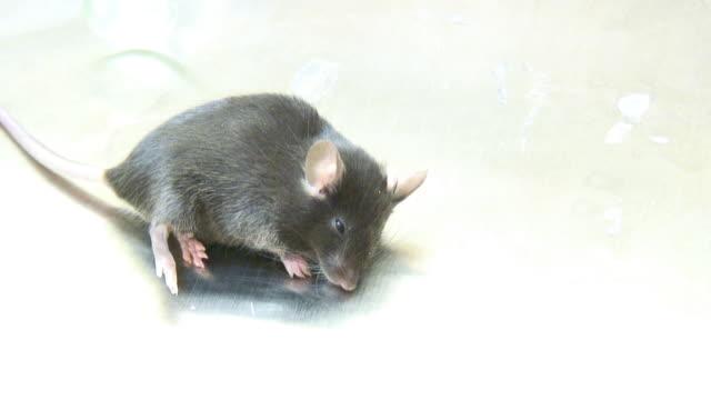 Lab mouse - HD 1080/60i