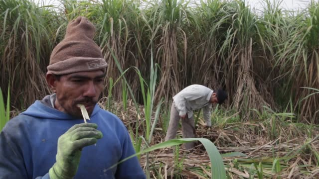a laborer bites and chews a piece of harvested sugarcane in a field in the outskirts of modinagar uttar pradesh sugar cane harvest and sugar... - sugar cane stock videos and b-roll footage