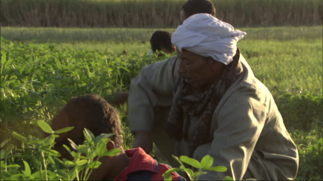 laborers harvest plants with hand tools. - middle east stock videos & royalty-free footage