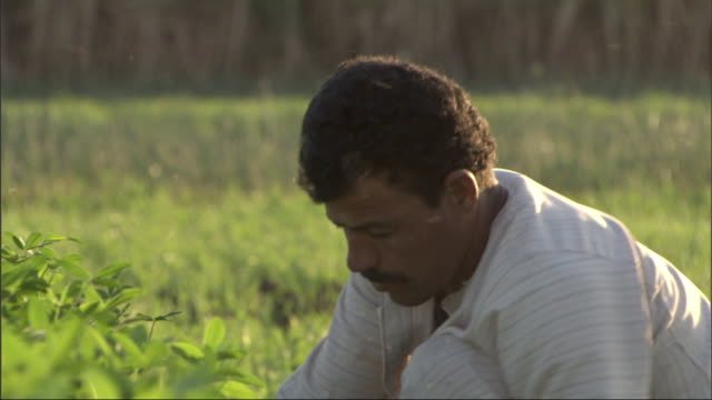 laborers harvest plants with hand tools. - egypt stock videos & royalty-free footage