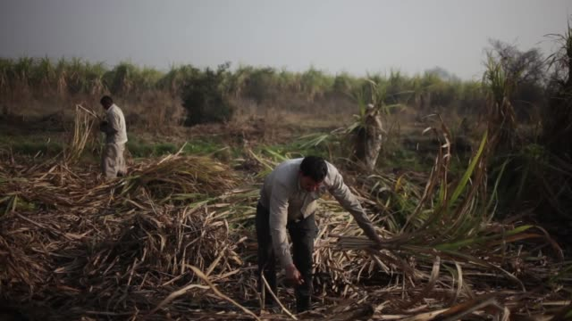 laborers harvest sugarcane in a field in the outskirts of modinagar uttar pradesh workers kneel in field to harvest sugarcane crops sugar cane... - sugar cane stock videos and b-roll footage