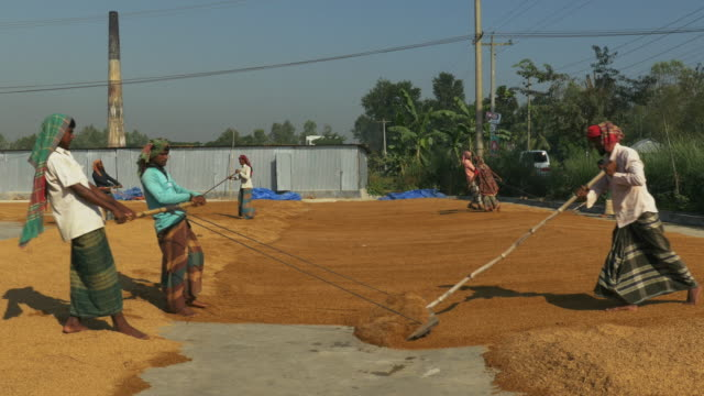 Labourers in Bangladesh spread out brown rice with rakes to dry in the sun