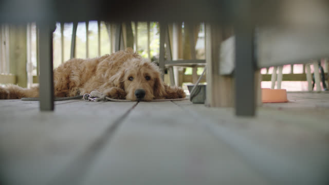 slo mo. labradoodle lying down on porch floor. - veranda stock videos & royalty-free footage
