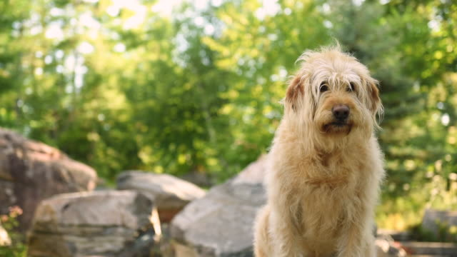 labradoodle outside on rocks - paw stock videos and b-roll footage