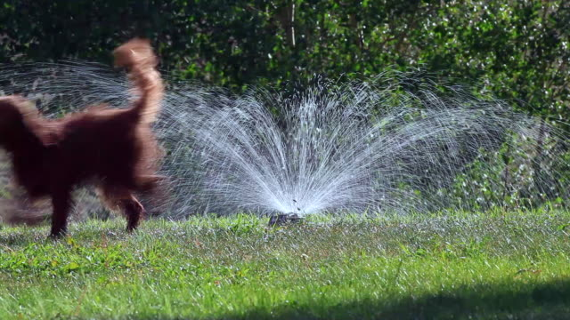 labradoodle puppy dogs play in a sprinkler - sprinkler stock videos & royalty-free footage