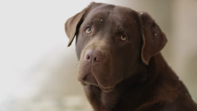 slo mo labrador barking - bark stock videos & royalty-free footage