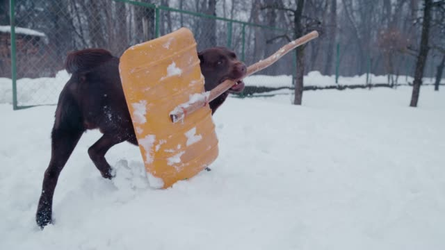 slo mo labrador carrying a snow shovel - spade stock videos & royalty-free footage