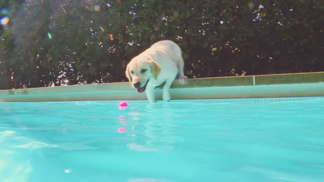 labrador dog playing with his ball trying to catch it from the home swimming pool during summer with underwater view in a sunny day. - effort video stock e b–roll