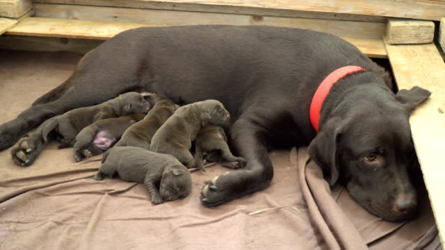 labrador dogs- mother and puppies in a kennel - 30 seconds or greater stock videos & royalty-free footage