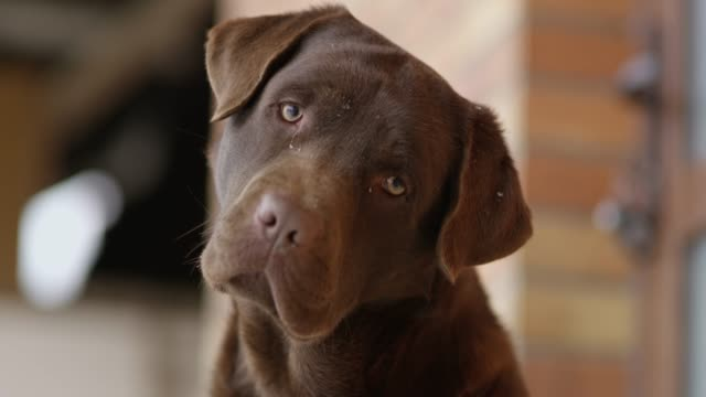 slo mo labrador looking at the camera - brown stock videos & royalty-free footage