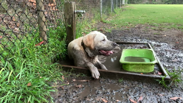 labrador puppy lying in mud panting - mud stock videos & royalty-free footage