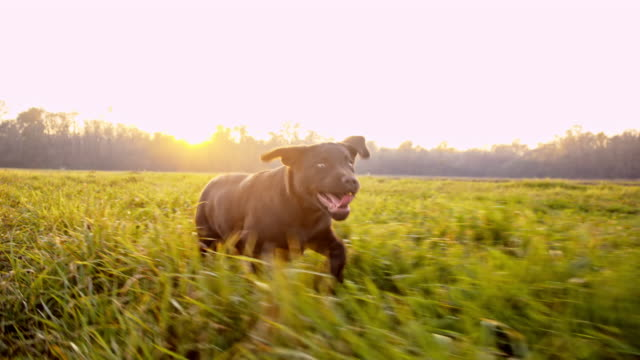 SLO MO Labrador puppy running in grass