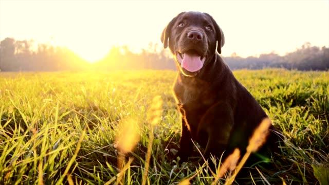 SLO-MO Labrador Welpen Sitzen im Gras im Morgengrauen
