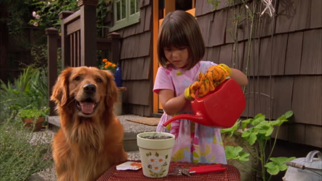 ms, labrador retriever assisting girl (4-5) watering seeds in flower pot, cambria, california, usa - flower pot stock videos and b-roll footage