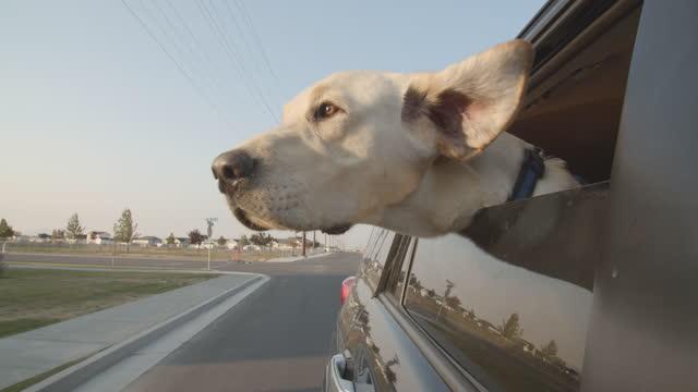labrador retriever enjoying a car ride - passenger seat stock videos & royalty-free footage