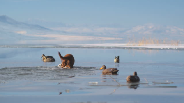 labrador retriever fetches a dead duck from an icy pond - duck stock videos & royalty-free footage