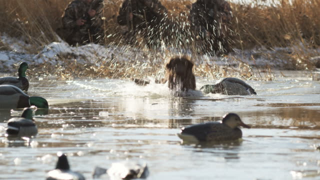 labrador retriever fetches a dead duck from an icy pond - anatra uccello acquatico video stock e b–roll