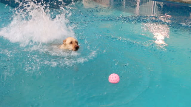 vídeos de stock e filmes b-roll de labrador retriever saltar na piscina - piscina
