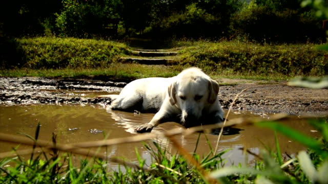 Labrador Retriever Laying In Mud