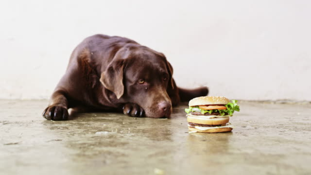 vidéos et rushes de slo mo labrador retriever regardant hamburger - tentation