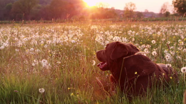 SLO MO DS Labrador retriever lying in grass among dandelions
