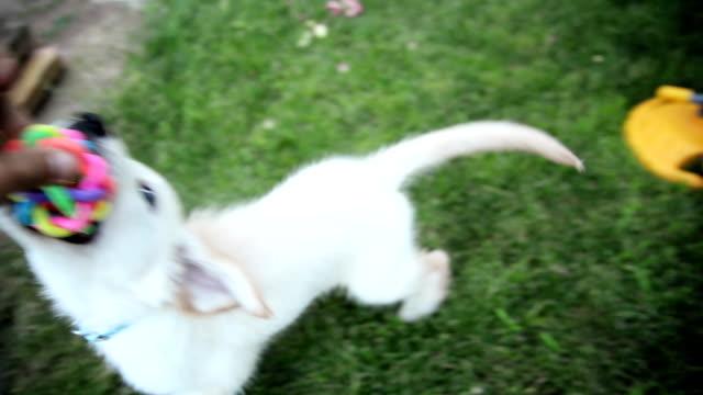 ラブラドールレトリバーの子犬を再生 - 突き出た鼻点の映像素材/bロール