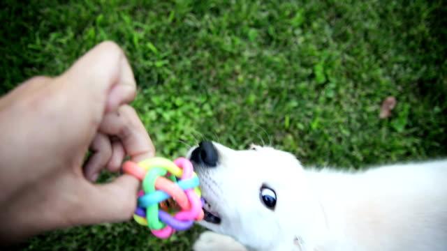 Labrador Retriever Welpen spielen