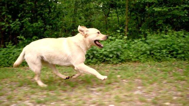 vídeos de stock, filmes e b-roll de slo mo labrador retriever ao longo da floresta - vista lateral