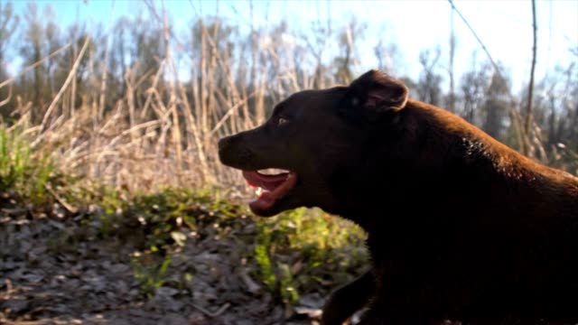 slo mo labrador retriever running along the river - side view stock videos & royalty-free footage