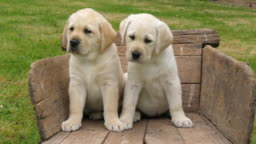 Labrador Retriever, Two Yellow Puppies in a Wheelbarrow, Normandy in France, Slow Motion 4K