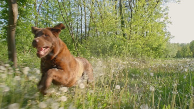 slo mo labrador running among dandelions - escaping stock videos & royalty-free footage