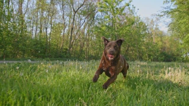 slo mo labrador running in grass among dandelions - dandelion stock videos & royalty-free footage