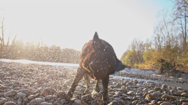 slo mo labrador shaking off water - drying stock videos & royalty-free footage