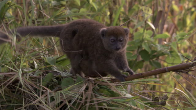 lac alaotra bamboo lemur (hapalemur alaotrensis) and baby in reeds, madagascar - reed grass family stock videos and b-roll footage