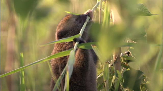lac alaotra bamboo lemur (hapalemur alaotrensis) feeds on reeds, madagascar - self sufficiency stock videos and b-roll footage