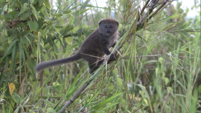lac alaotra bamboo lemur (hapalemur alaotrensis) leaps between reeds, madagascar - bamboo plant stock videos and b-roll footage