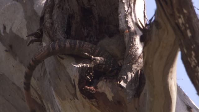 'Lace monitor strikes at common brush tailed possum in hole in tree, possum escapes and bites at monitor.'