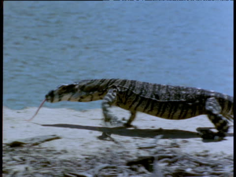 lace monitor wanders along river bank, victoria, australia - maul stock-videos und b-roll-filmmaterial
