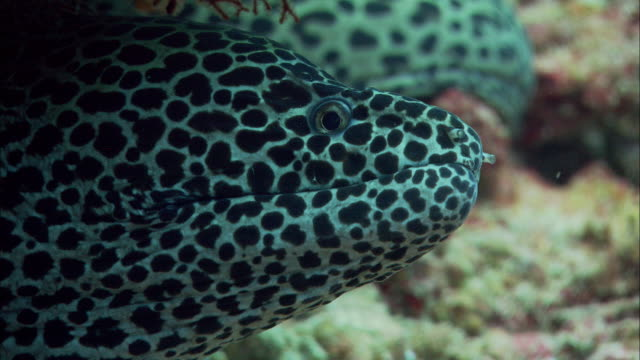 laced moray eel (gymnothorax favagineus) gapes on coral reef, banda islands, indonesia - moray eel stock videos and b-roll footage