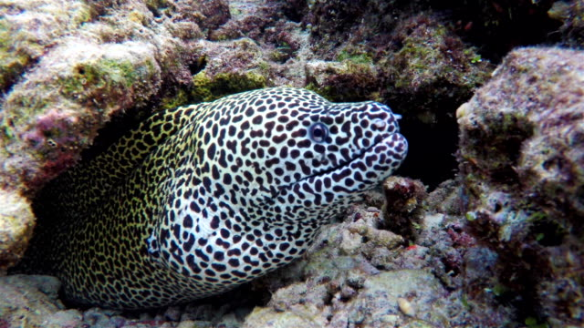 Laced moray in a coral cave on Maldives