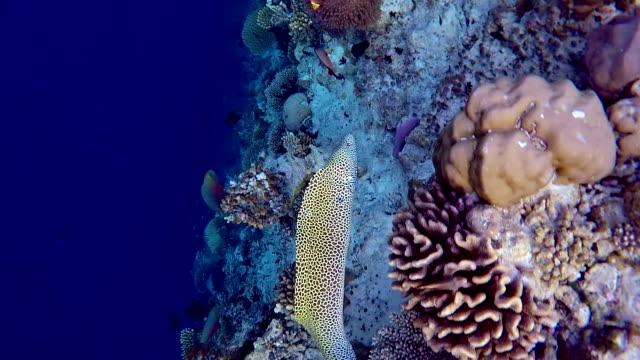 Geschnürte moray schwimmt auf der coral reef-Maldives