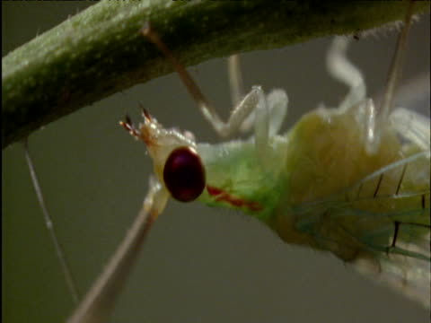 lacewing clings to plant stem - animal antenna stock videos & royalty-free footage
