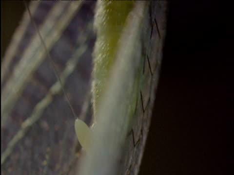 lacewing lays long-stalked egg onto plant stem - 長さ点の映像素材/bロール