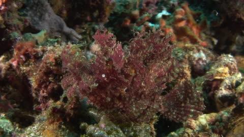 lacey scorpionfish - drachenkopf stock-videos und b-roll-filmmaterial